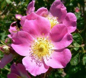 rose1-300x270
